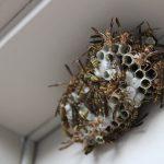 Zo houdt u wespennesten weg