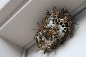 Lees meer over het artikel Zo houdt u wespennesten weg